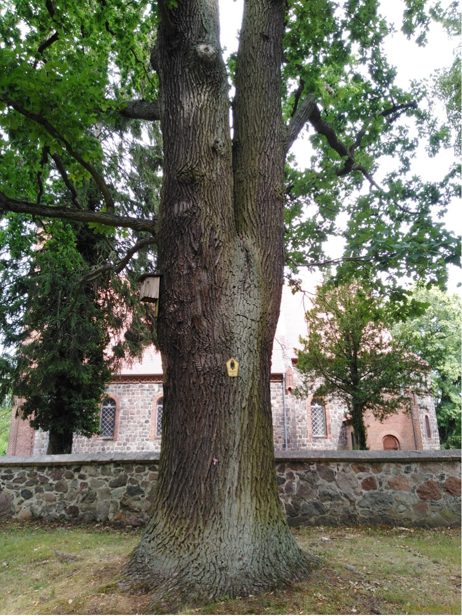 Radtour Ladeburg: Baum Denkmalschutz am Kirchplatz