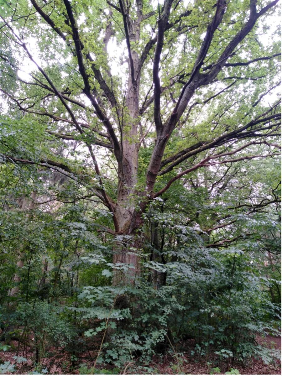 Wanderung Nähe Lager Koralle: Alter, kräftiger Baum