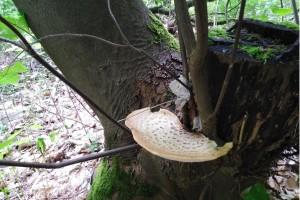 Wanderung Nähe Lager Koralle: Baumstumpf mit Pilz